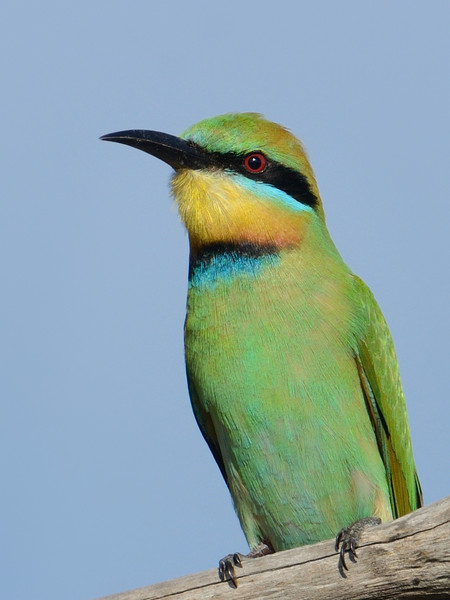 Female Rainbow Bee-eater, Federation Walk Nature Reserve, Gold Coast, Queensland.