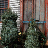Unsold Christmas Trees
