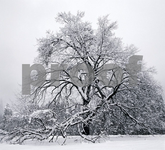 Ansel Tree
