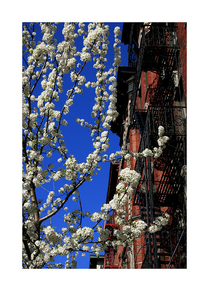 Iron vs Blossoms, NYC