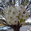 Bradford pear at church