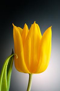Ying and Yang Tulip