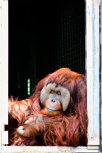 An arboreal anthropoid ape (Pongo pygmaeus) of [DC], having a shaggy reddish-brown coat, very long arms, and no tail.