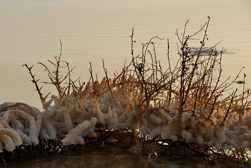 Salt encrusted bushes on the shores of the Dead Sea in Israel.