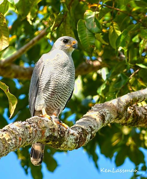 Gray Hawk (Costa Rica)