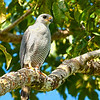 Gray Hawk (Costa Rica)