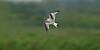 Little Gull 1st summer Marshside RSPB May 2016