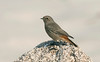 Black Redstart Porthloo St Mary's