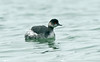 Black-necked Grebe Porthcressa Scilly