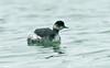Black-necked Grebe Porthcressa Scilly