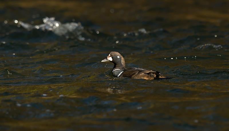 Harlequin Duck 6 1stw male Aberdeen Feb 2015