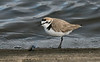 Kentish Plover 4 Audenshaw Res 4-16