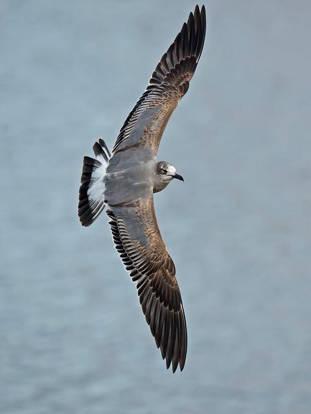 Laughing Gull 1stw 4 New Brighton Feb 2015