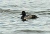 Lesser Scaup 2, Pennington Flash Sept 2013