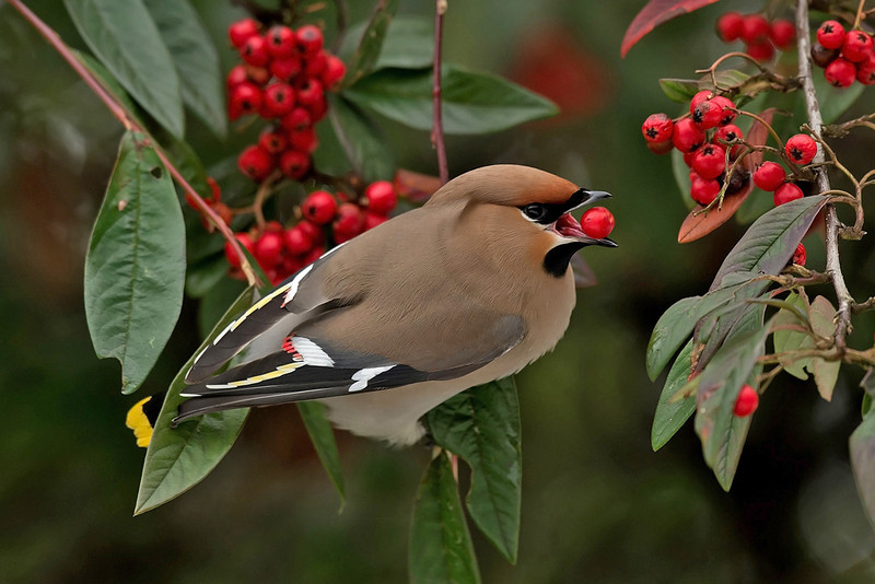 Waxwing, Aigburth, Liverpool March 2013
