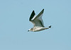 Sabine's Gull 2 - Hale, Cheshire