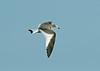 Sabine's Gull 1 - Hale, Cheshire