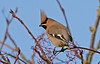 Waxwing 4 Warrington Feb 2019