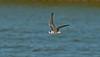 Black Tern juv a Seaforth 27-8-15
