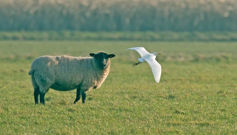 Cattle Egret 3 Hightown Lancs 20-12-16