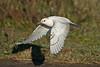 Ivory Gull 5 Patrington December 2013