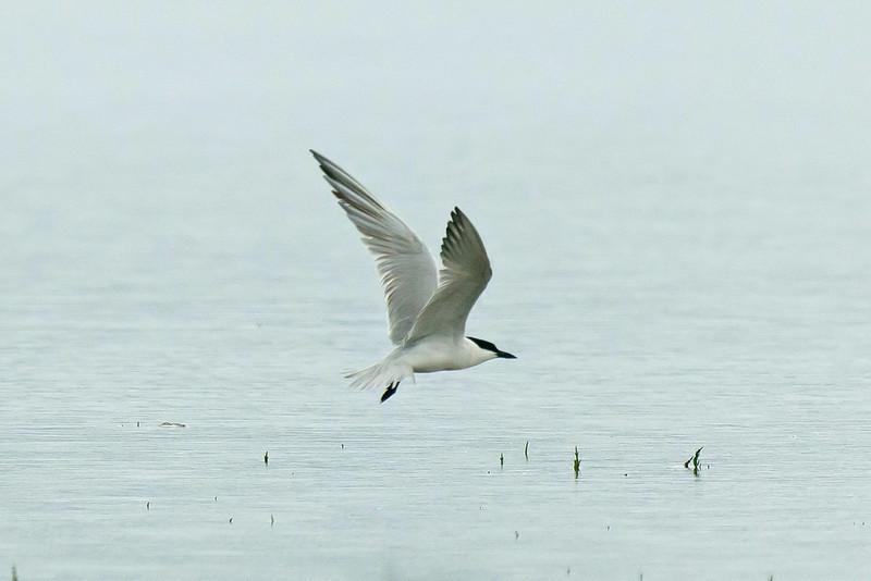 Gull-billed Tern 2, Borth, August 2012