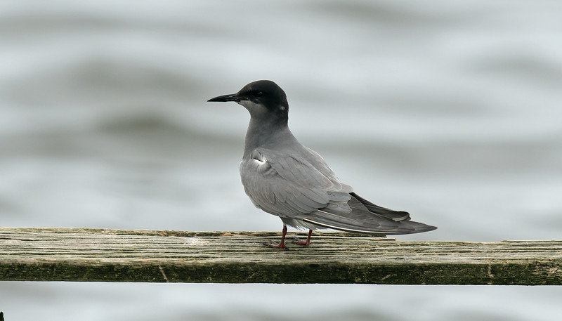 Black Tern b Seaforth May 2016