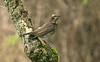 Dusky Thrush 6 Beeley Derbyshire