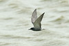 Black Tern b Marshside RSPB May 2016