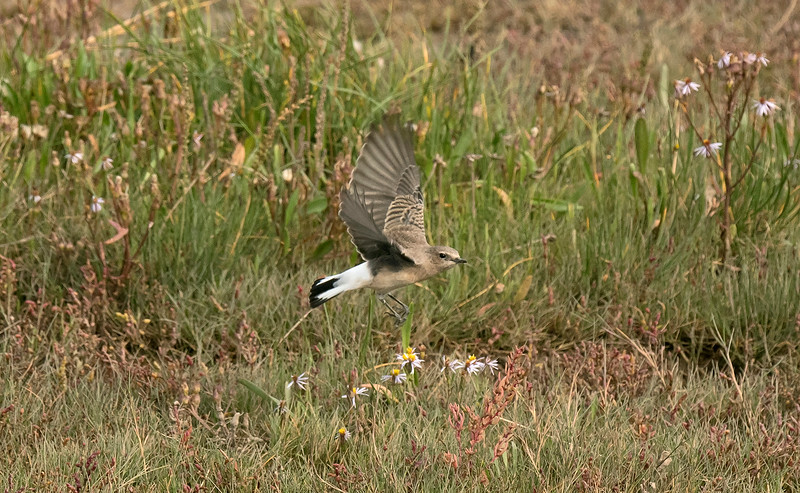 Eastern Black-eared or Pied Wheatear 4 Pilling Lancs Sept 2019