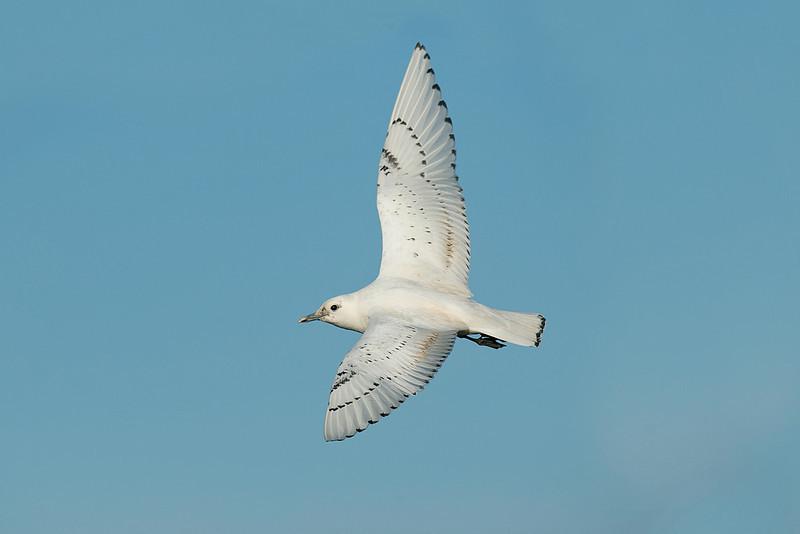 Ivory Gull 1 Patrington December 2013