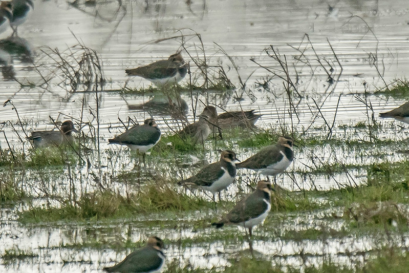 Long-billed Dowitcher Marshside Lancs Oct 2017 poor record shot...