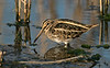 Jack Snipe a Lower Moors Scilly