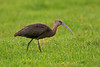 Glossy Ibis 4 Doffcocker Lodge
