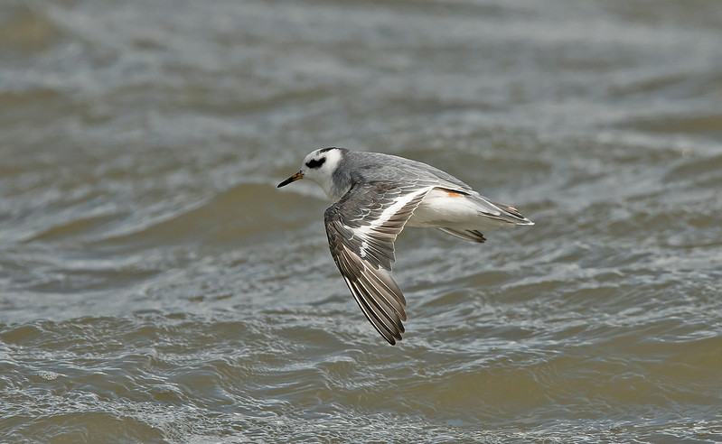 Grey Phalarope 3 adult winter New Brighton, Wirral Sept 2017