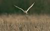 Short-eared Owl a Lunt Meadows