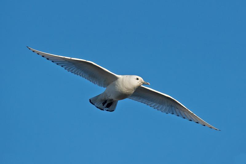 Ivory Gull 4 Patrington December 2013