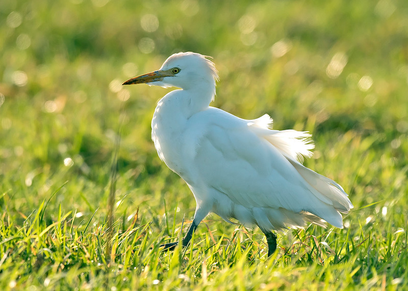 Cattle Egret 2 Hightown Lancs 20-12-16