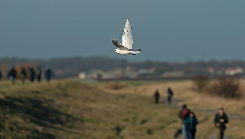 Ivory Gull 6 Patrington December 2013