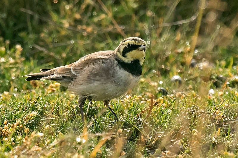 Shore Lark 1 Spurn