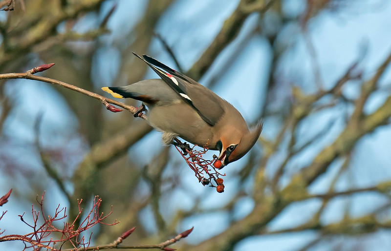 Waxwing 1 Warrington Feb 2019