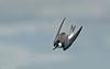 Black Tern juv 1 Seaforth 29-8-15