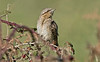 Wryneck b Peninnis St Mary's