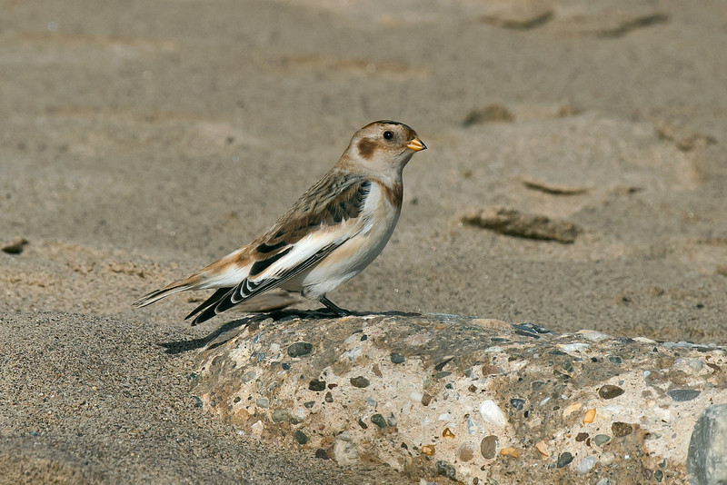 Snow Bunting Spurn September 2013