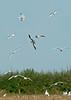 Sabine's Gull 5 - Hale, Cheshire