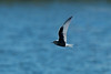 White-winged Black Tern 3 Seaforth 18-6-14