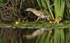 Squacco Heron 1 Gronant Sept 2021