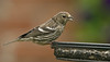 Two-barred Crossbill, Lancashire 8-2013