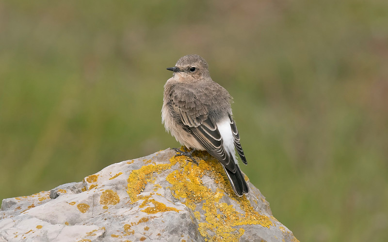 Eastern Black-eared or Pied Wheatear 3 Pilling Lancs Sept 2019