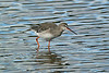 Spotted Redshank 2 Leighton Moss September 2013